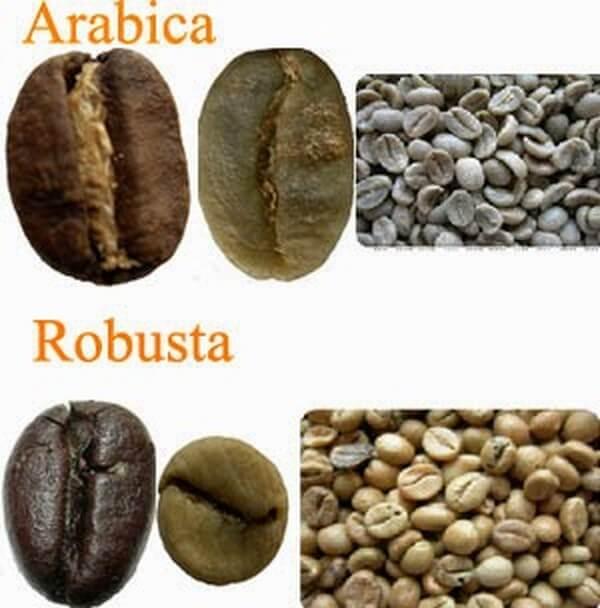 Кофе робуста - его отличия и интересные особенности.