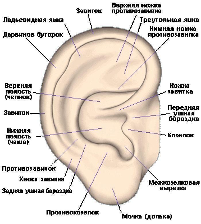 Ухо человека | анатомия уха, строение, функции, картинки на eurolab