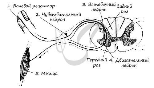 3.рефлекторная дуга, ее компоненты, виды, функции