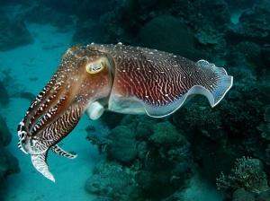 Каракатица в природе: как выглядит, фото