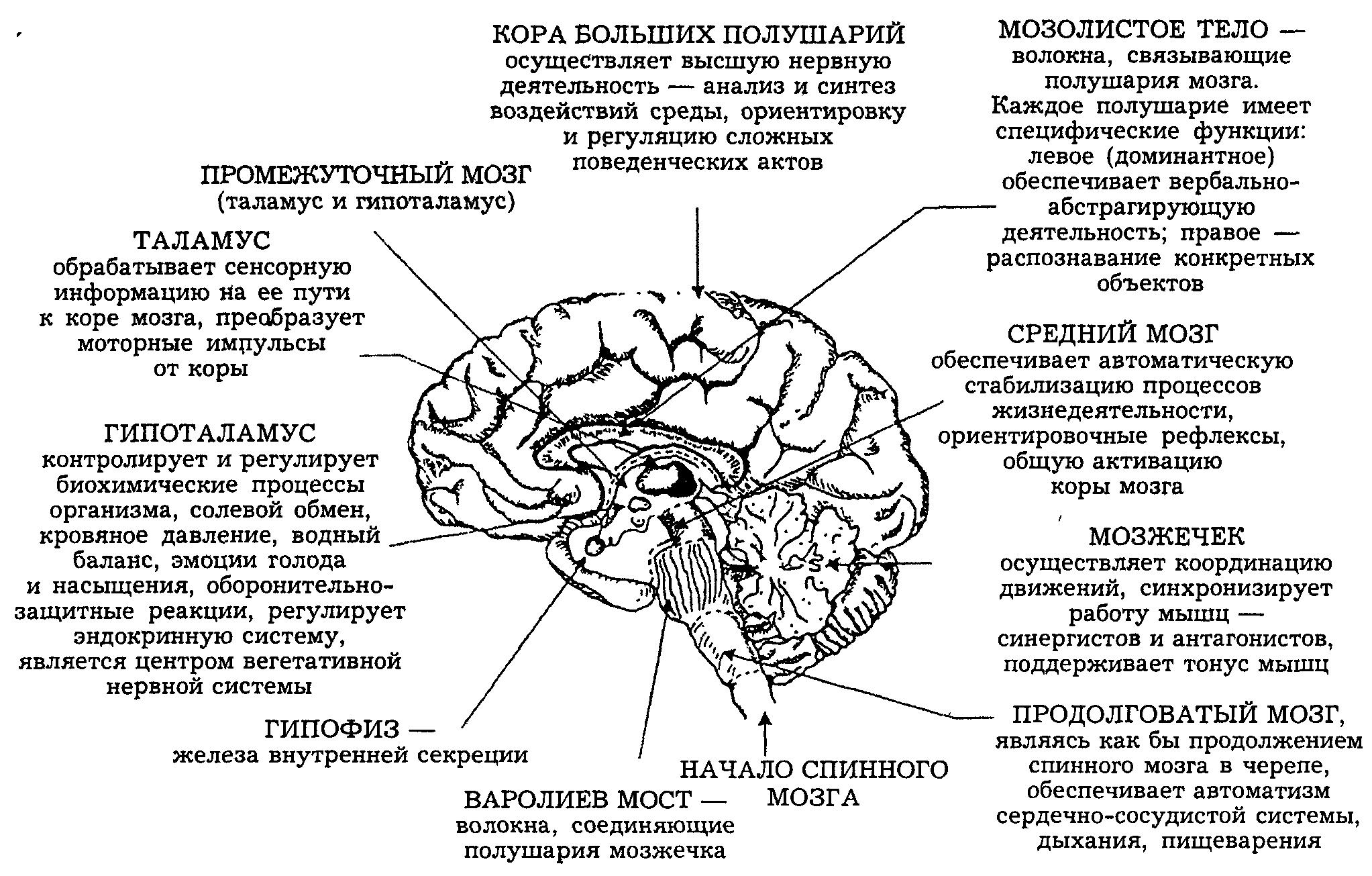 Головной мозг человека — википедия. что такое головной мозг человека