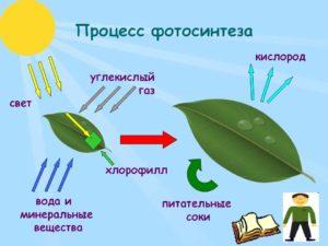Что такое фотосинтез в биологии: как происходит процесс и что при этом образуется - таблица