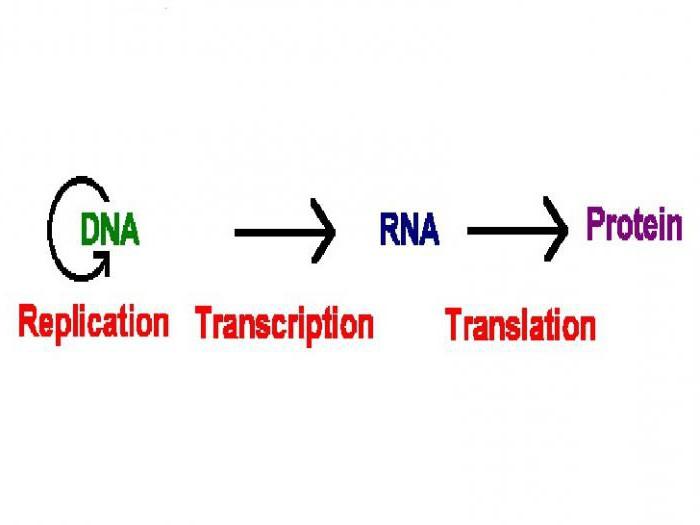 Транскрипция (биология) — википедия