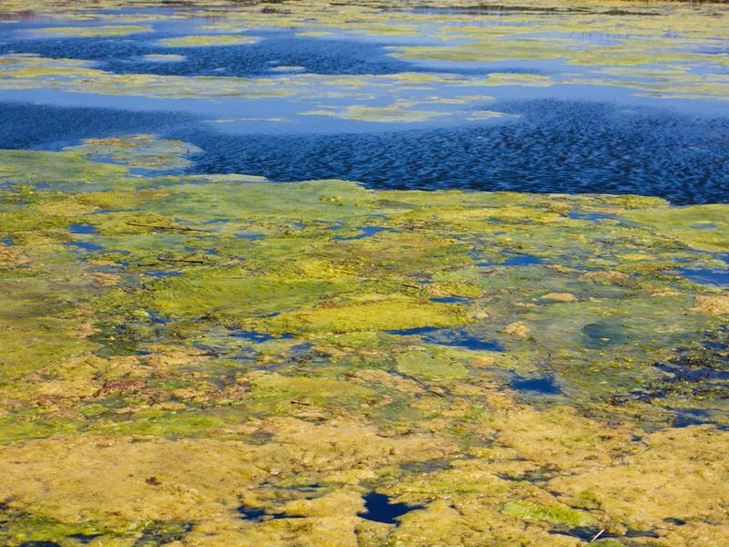 Cпирогира водоросль в аквариуме — борьба с ней