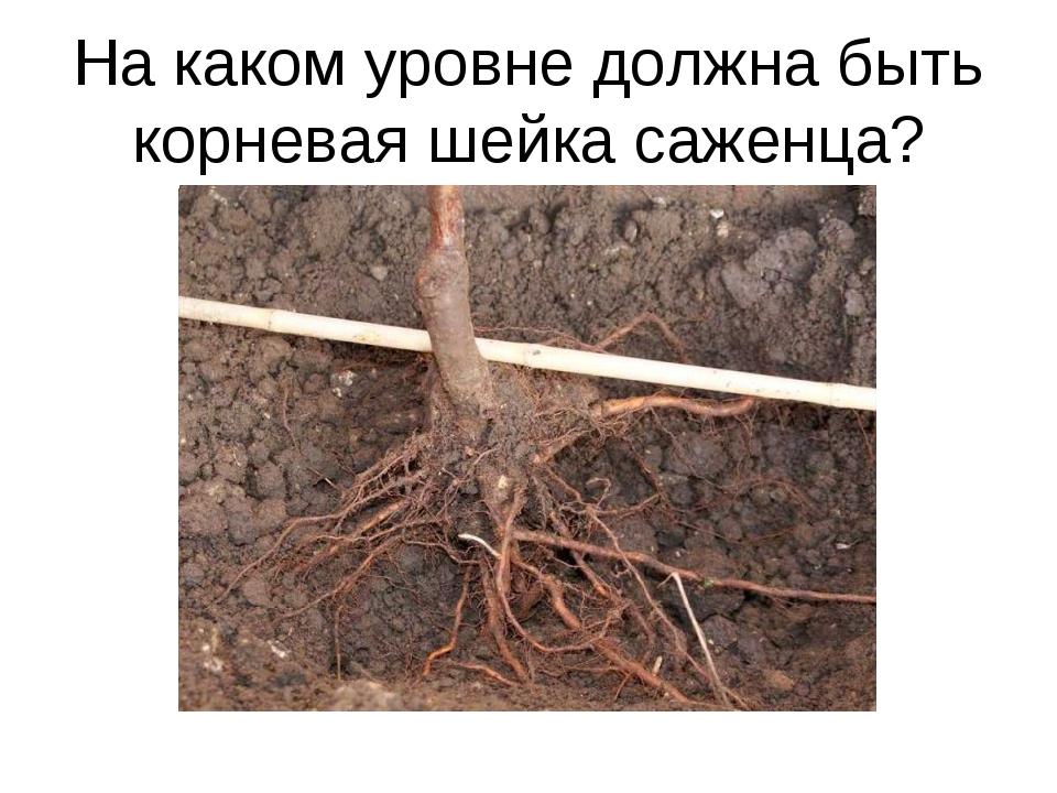 Что такое корневая шейка у растений фото