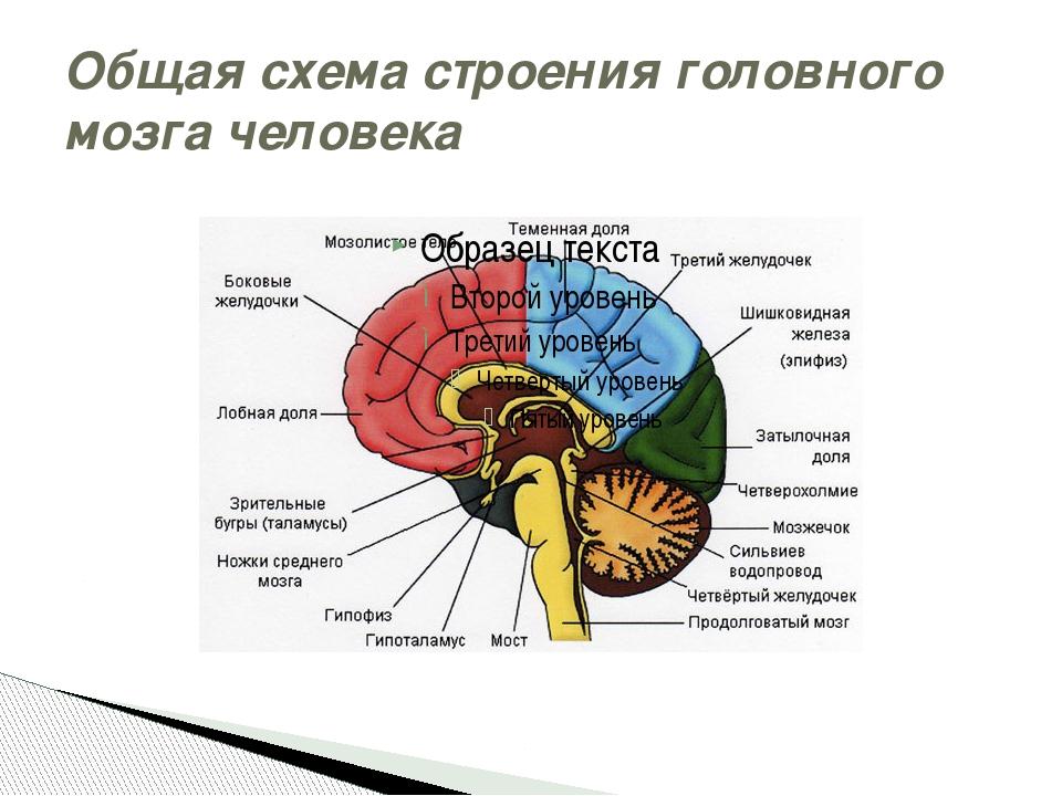 Головной мозг — википедия с видео // wiki 2