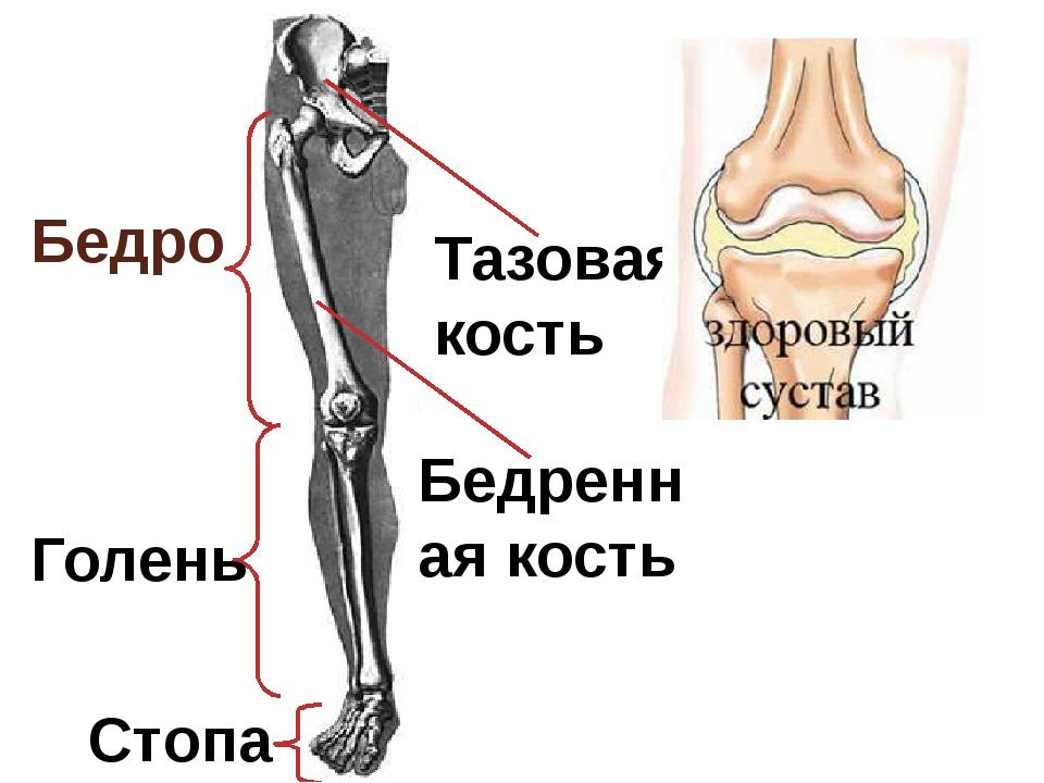 Где находится голень у человека на ноге