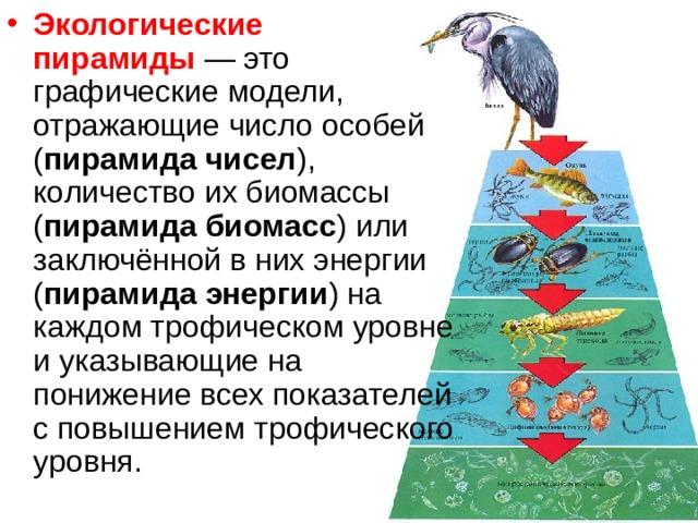 Экологическая пирамида мирового океана