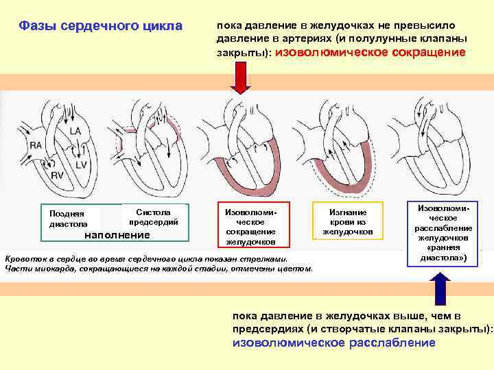 Систолическое и диастолическое давление: описание, нормальные значения, отклонения
