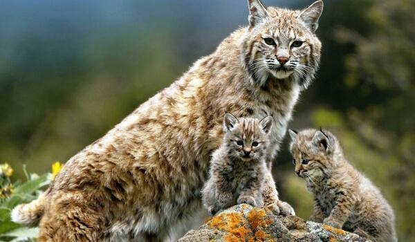 Рысь - хищная северная кошка