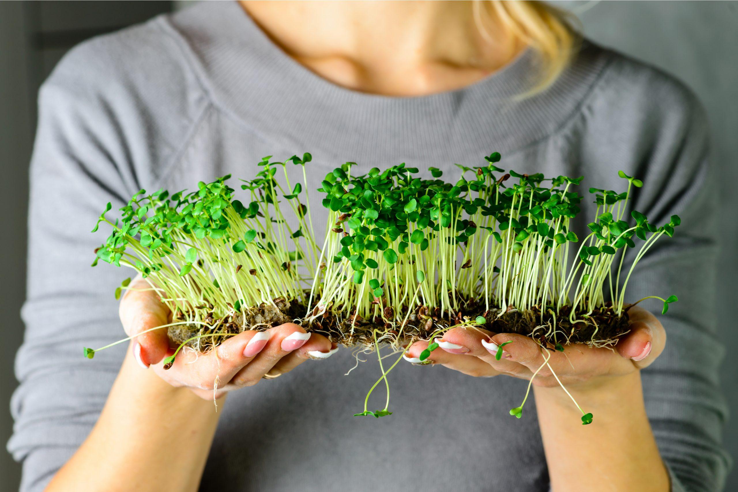 Микрозелень — что это такое и с чем её едят? фото — ботаничка.ru