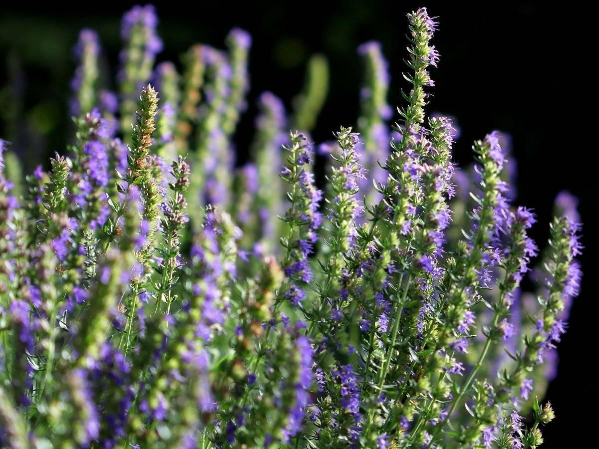 Иссоп лекарственный. лечебные свойства, противопоказания | лечение травами - народные средства