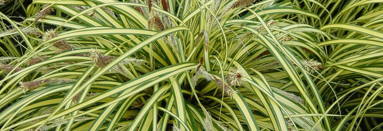 Культурная осока — привычное растение садового ландшафта, многообразие видов и варианты их использования, как ухаживать за растением - 15 фото