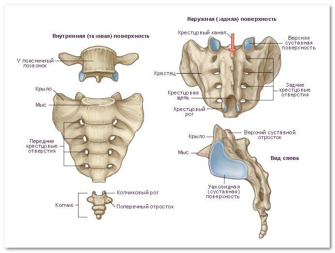 Крестцовые позвонки - анатомия, элементы и функции крестца