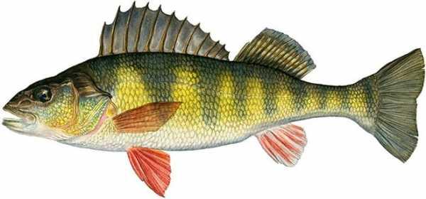 Рыбы: виды, описание, названия, рыбы наших водоемов и их ловля - fishingwiki