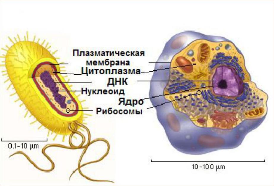 Бактерии. прокариоты. эукариоты. различия между прокариотической и эукариотической клетками. архебактерии. эубактерии