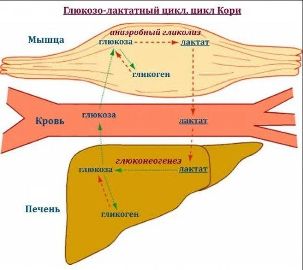 Молочная кислота в мышцах: что это такое, вред и польза для организма