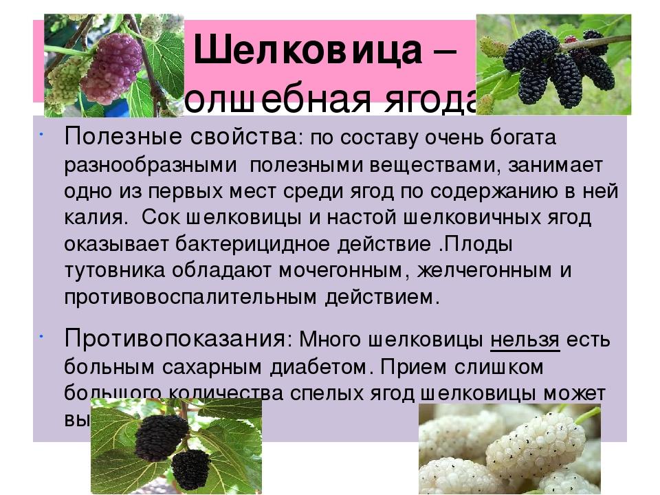 Шелковица: польза и вред ягод шелкового дерева