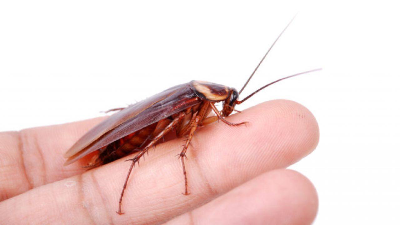 Прусак или рыжий таракан в чем разница
