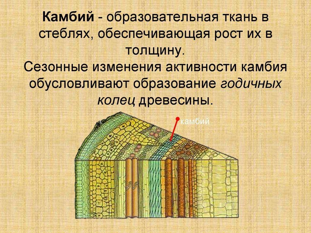 Камбий - это что? расположение, роль и основные функции :: syl.ru