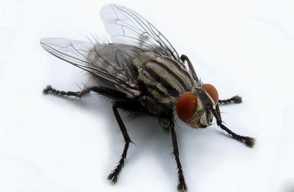 Мухи бывают разные. виды и разновидности мух: их основные характеристики и свойства