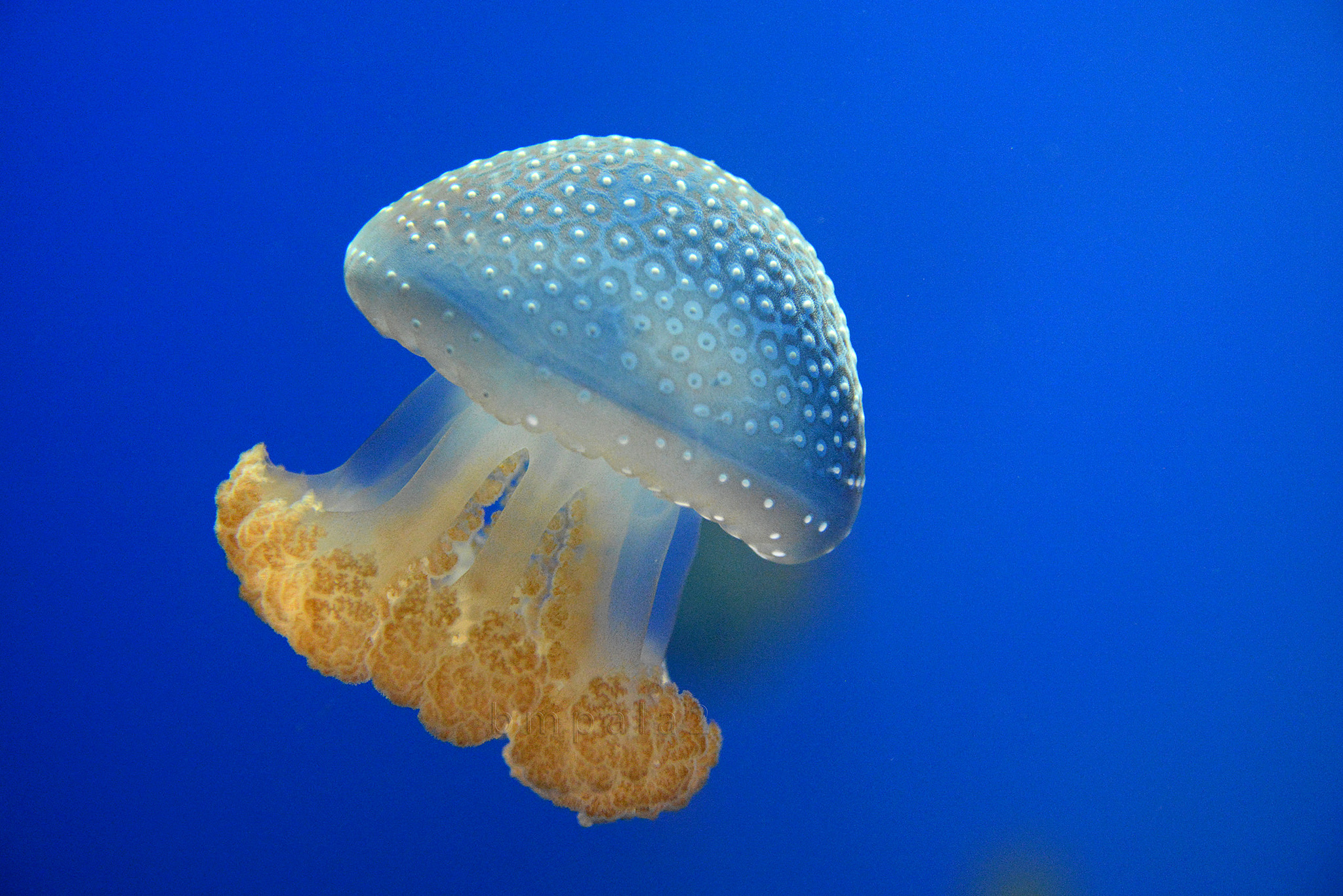 Meduza — википедия. что такое meduza