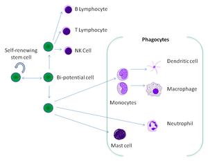 Фагоцитоз: стадии и пути фагоцитоза. в чем смысл процесса