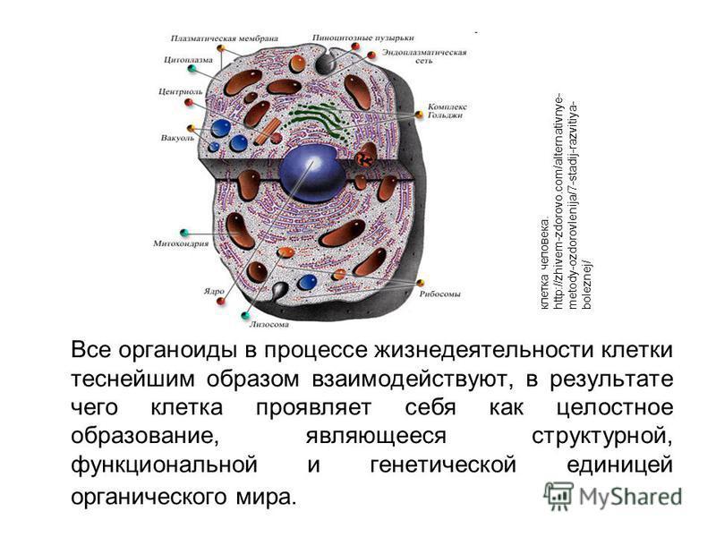 Органеллы — википедия