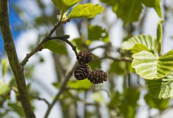 Ольха: фото дерева, описание, посадка и уход в открытом грунте