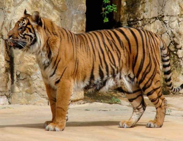 Тигры: описание, виды с фото, чем питаются, размножение