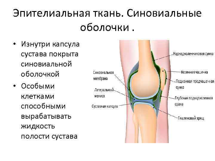 Синовиальная жидкость в коленном суставе лечение - красота и здоровье