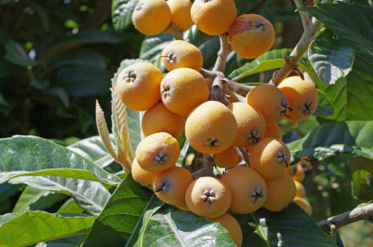 Дерево мушмула: фото, как посадить и вырастить в домашних условиях цветок и получить ягоды