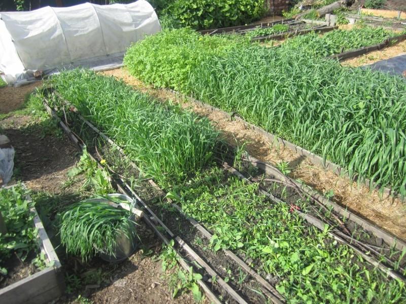Выбираем лучшие сидераты для огорода | дела огородные (огород.ru)