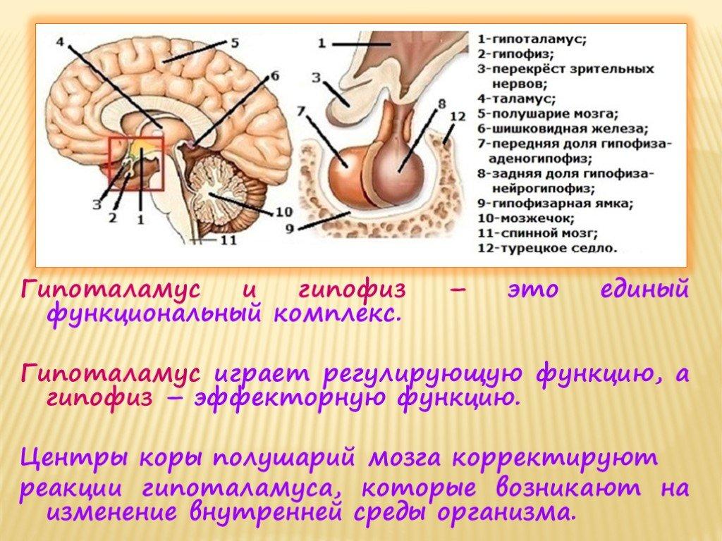 Строение гипофиза, функции и особенности заболеваний