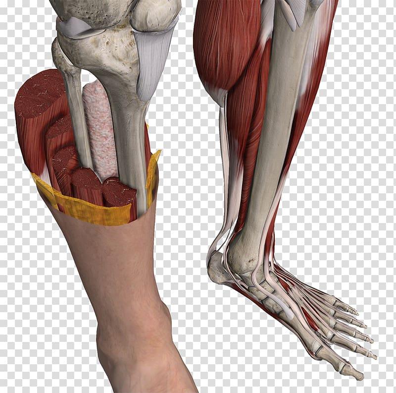 Нога человека