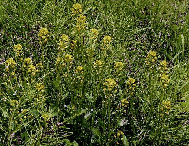 Сурепка полезные свойства и противопоказания, фото растения