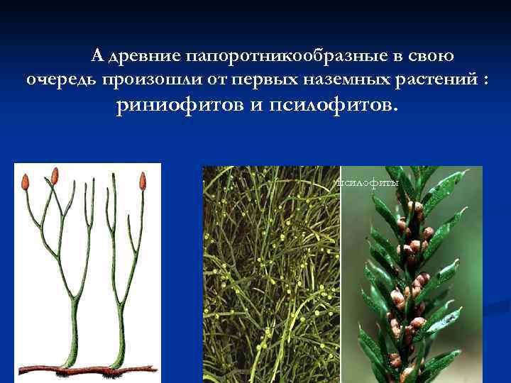 Риниофиты (rhyniophyta), псилофиты (psilophyta), самая древняя и примитивная вымершая группа (отдел) высших растений, hbybjabns gcbkjabns энциклопедии биология экология животные растения грибы ветеринария