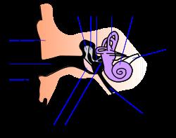 Строение и схема ушной раковины человека