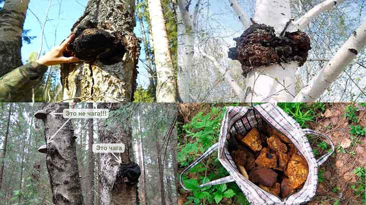 Топ-5 польза гриба чага для организма и как приготовить чай