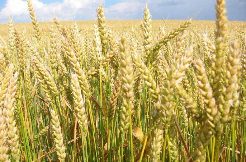 Озимая и яровая пшеница: отличия, в чем разница и чем отличается, как отличить по зерну и по внешнему виду, какая лучше