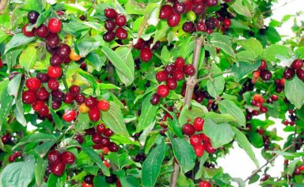 Кизил обыкновенный: полезные свойства алых ягод ⥁