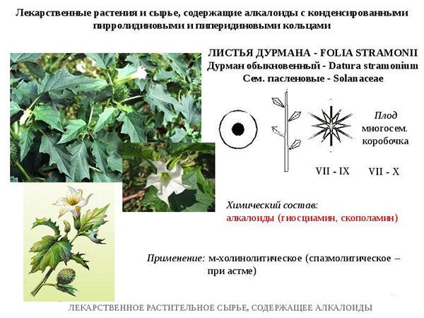 Дурман обыкновенный - сорняки - ооо тд кирово-чепецкая химическая компания