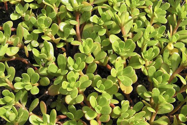 Портулак огородный — «благословенный» сорняк