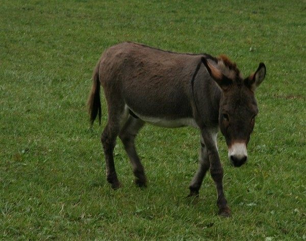 Осел (74 фото): кто это такой? сколько лет живут домашние ишаки? что ест животное? как оно выглядит? особенности размножения