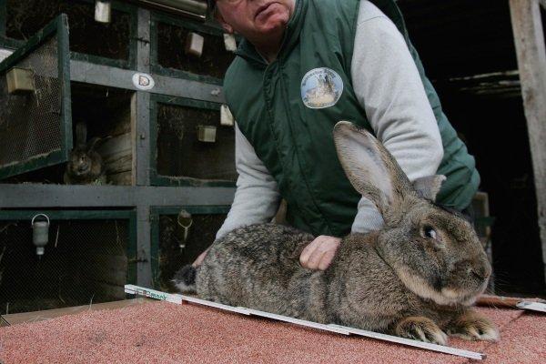 Дикий кролик — википедия. что такое дикий кролик