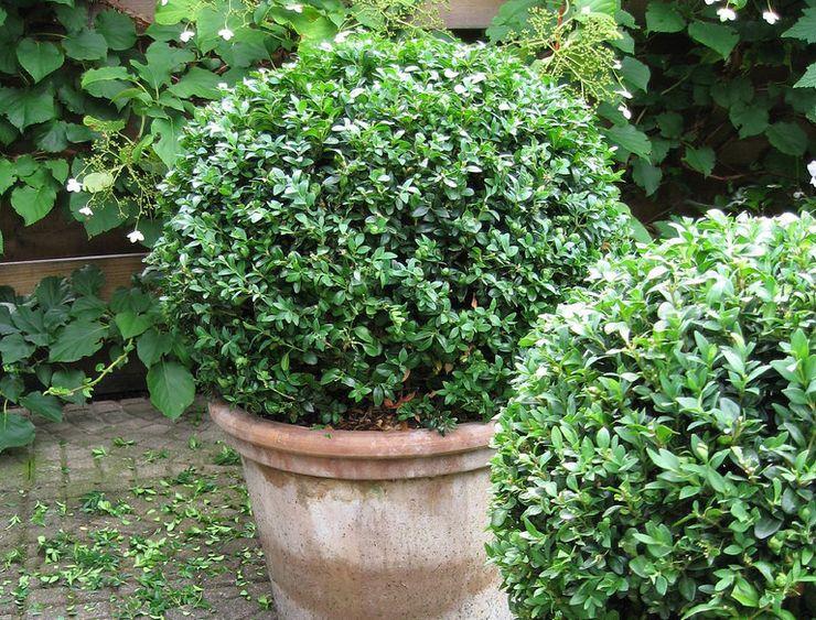 Буксус, или самшит. уход, выращивание, размножение, посадка. фото — ботаничка.ru
