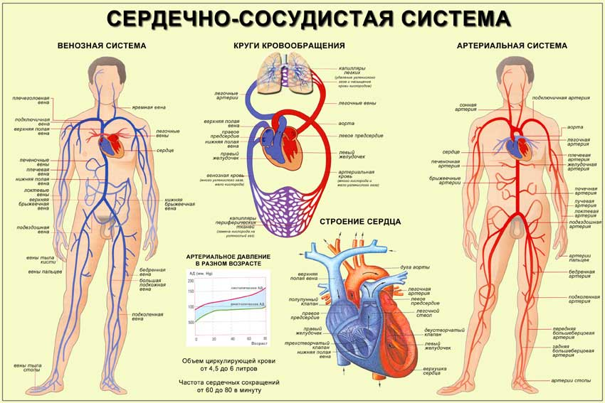 Артерия — википедия с видео // wiki 2