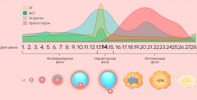 Лютеиновая фаза – что это, какой день цикла у женщин? недостаточность лютеиновой фазы, низкий прогестерон в лютеиновой фазе – причины