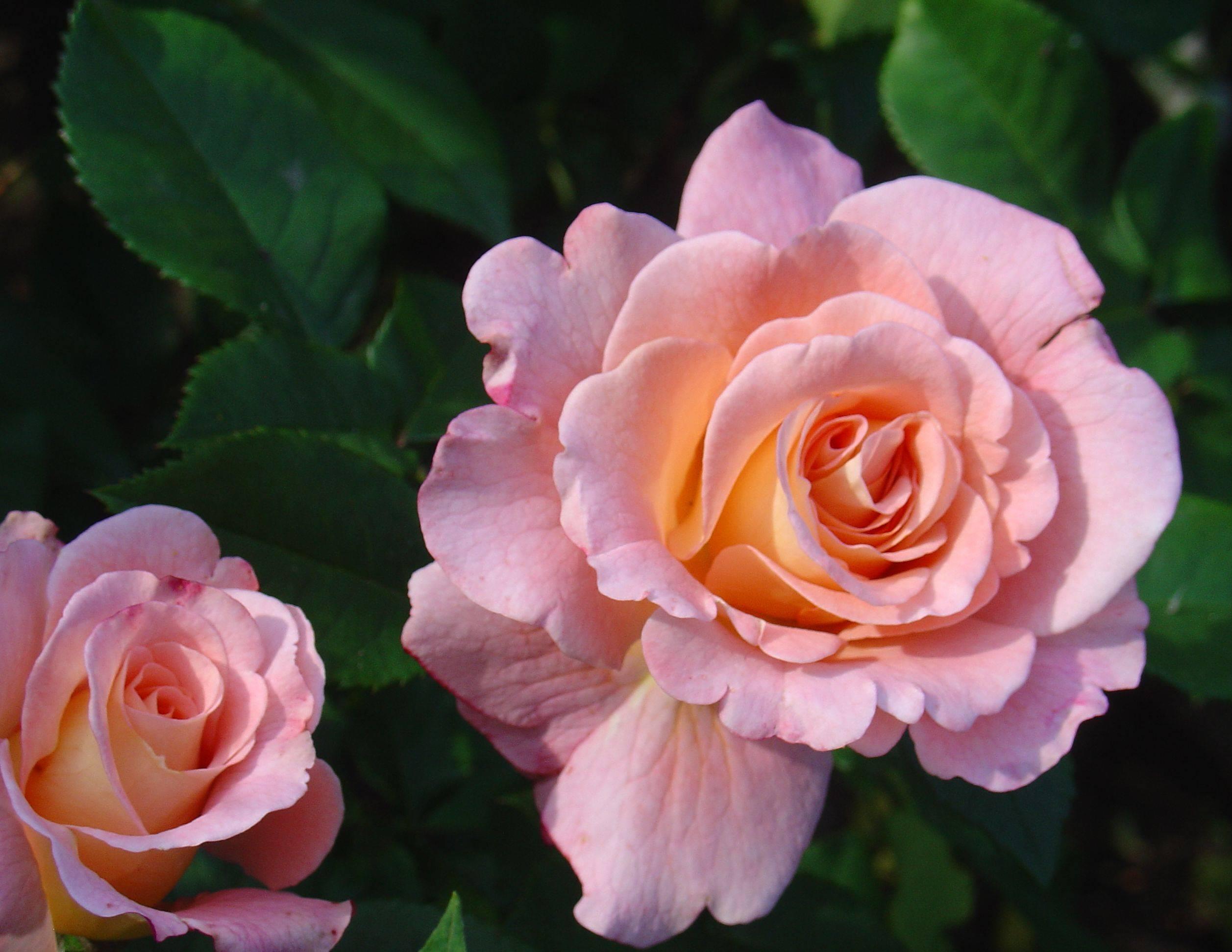 Роза флорибунда: чайно-гибридные и полиантовые сорта