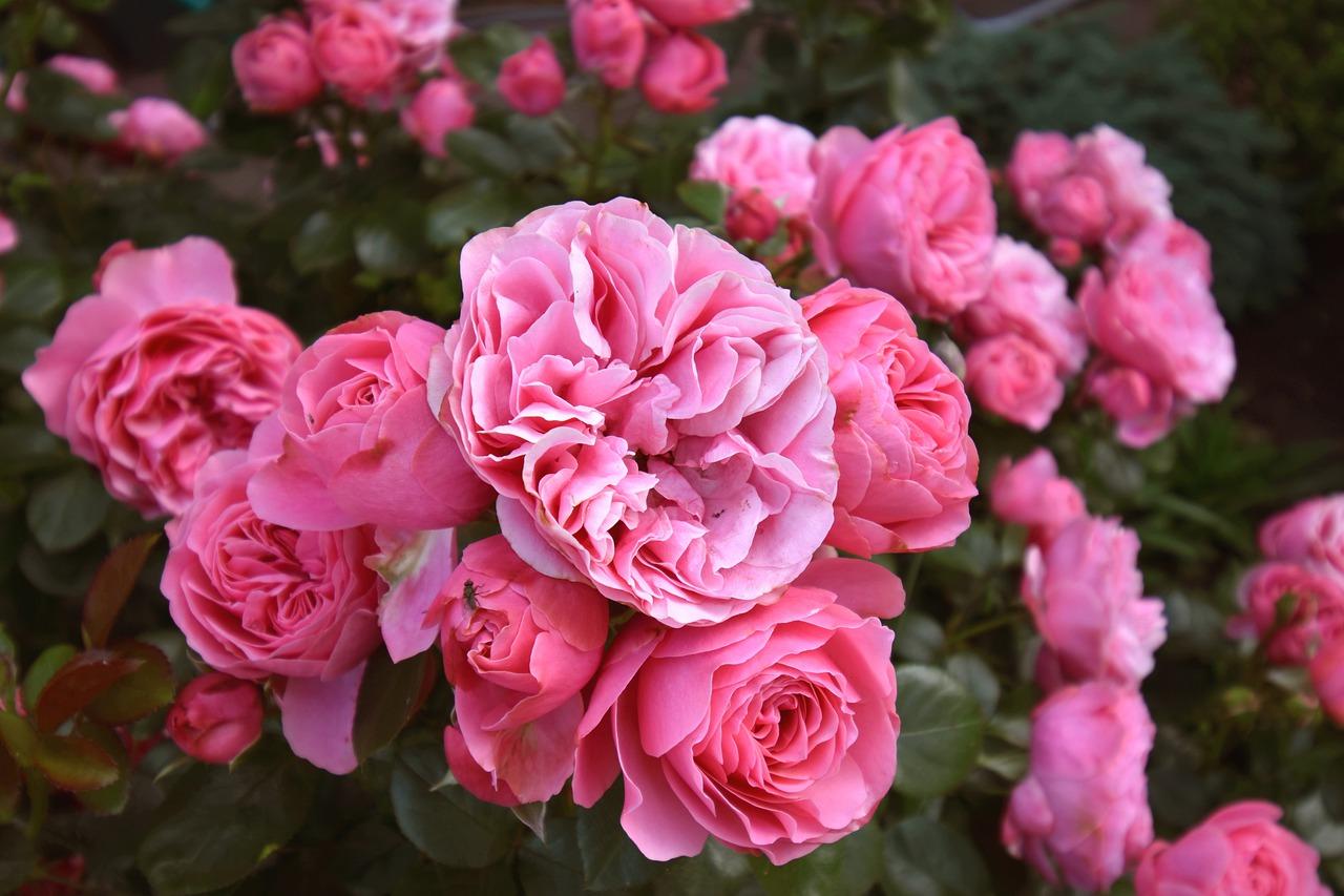 Розы флорбунда - что такое, сорта, фото, описание